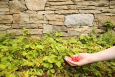 Budilka pěstuje lesní jahody na zahradě